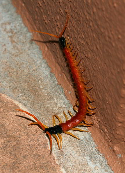 Arizona Giant Centipede