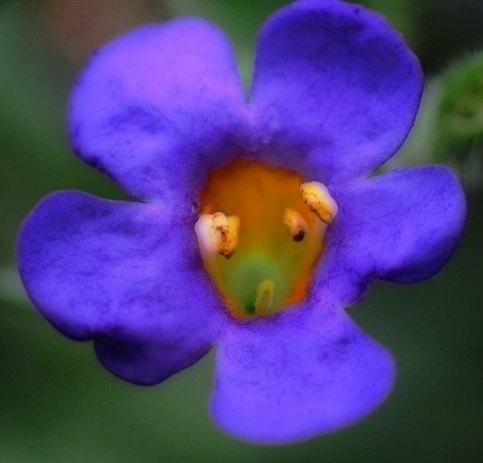 Tim's Blue Flower