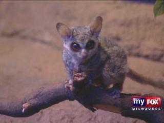 American Idol Sponsors Milwaukee Zoo Bush Baby